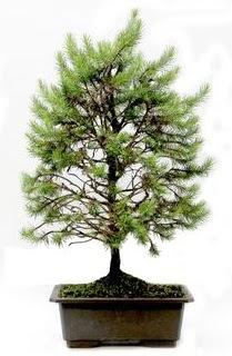 *** STOKTA YOK - Çam ağacı bonsai bitkisi satışı  Adana cicekciler , cicek siparisi