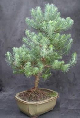 Bonsai çam ağacı japon ağacı bitkisi  Adana çiçek gönderme sitemiz güvenlidir