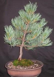 Bonsai çam ağacı japon ağacı bitkisi  Adana çiçek siparişi sitesi
