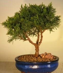 Servi çam bonsai japon ağacı bitkisi  Adana çiçek yolla