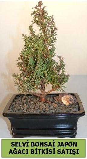 Selvi çam japon ağacı bitkisi bonsai  Adana çiçekçi telefonları