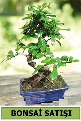 Çam bonsai japon ağacı satışı  Adana çiçek satışı