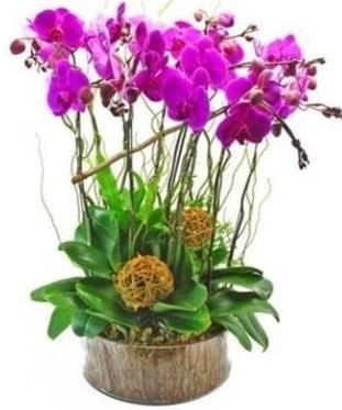 Ahşap kütükte lila mor orkide 8 li  Adana internetten çiçek satışı