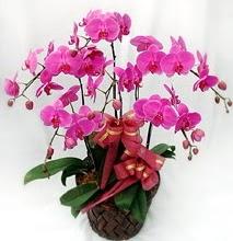 Sepet içerisinde 5 dallı lila orkide  Adana ucuz çiçek gönder