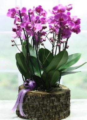 Kütük içerisinde 6 dallı mor orkide  Adana ucuz çiçek gönder