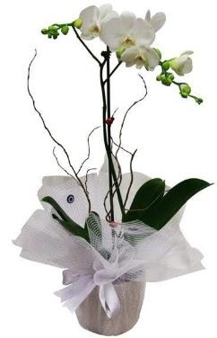 Tek dallı beyaz orkide  Adana cicek , cicekci