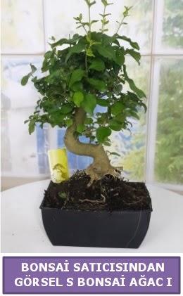 S dal eğriliği bonsai japon ağacı  Adana çiçek satışı