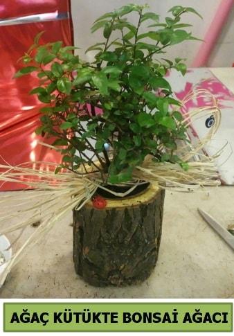 Doğal ağaç kütük içerisinde bonsai ağacı  Adana çiçek gönderme sitemiz güvenlidir