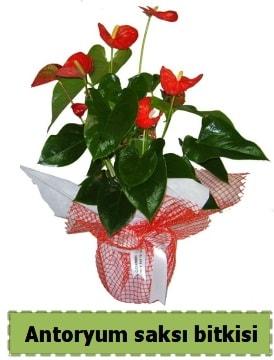 Antoryum saksı bitkisi satışı  Adana çiçek , çiçekçi , çiçekçilik