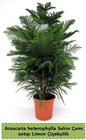 Salon Çamı Satışı Araucaria heterophylla  Adana çiçek satışı