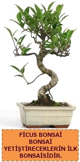 Ficus bonsai 15 ile 25 cm arasındadır  Adana çiçek yolla