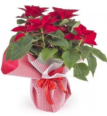 Atatürk çiçeği saksı bitkisi  Adana çiçek gönderme sitemiz güvenlidir