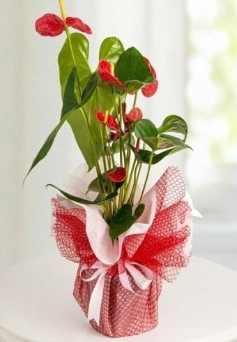 Anthurium Saksı Çiçeği  Adana hediye çiçek yolla