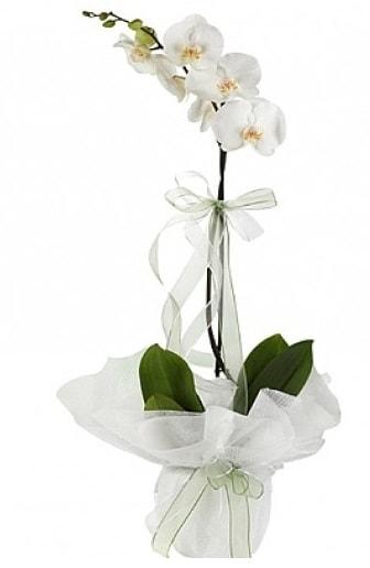 Tekli Beyaz Orkide  Adana hediye çiçek yolla