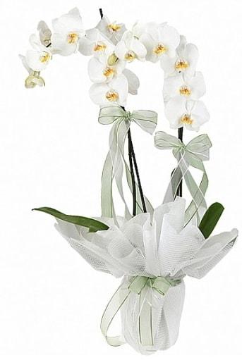 Çift Dallı Beyaz Orkide  Adana anneler günü çiçek yolla