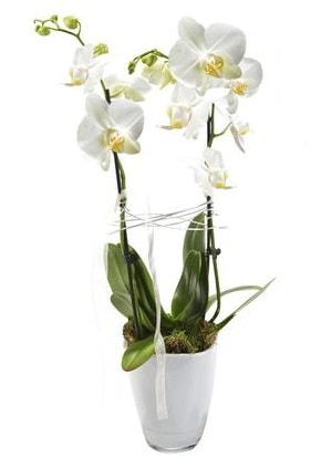 2 dallı beyaz seramik beyaz orkide saksısı  Adana çiçek gönderme sitemiz güvenlidir