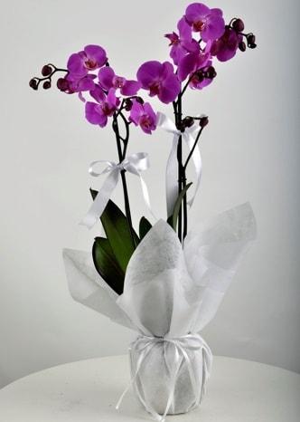 Çift dallı saksıda mor orkide çiçeği  Adana çiçek siparişi vermek