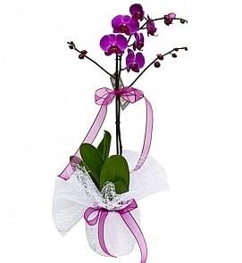 Tek dallı saksıda ithal mor orkide çiçeği  Adana çiçekçiler