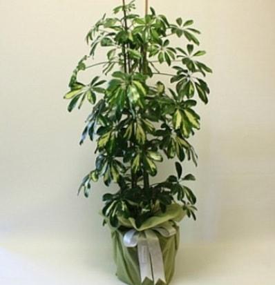 Şeflera salon bitkisi  Adana çiçek gönderme