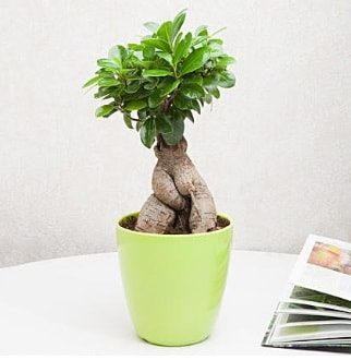 Ficus Ginseng Bonsai  Adana 14 şubat sevgililer günü çiçek