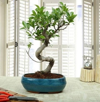 Amazing Bonsai Ficus S İthal  Adana internetten çiçek siparişi
