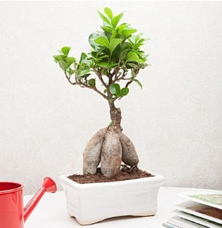 Exotic Ficus Bonsai ginseng  Adana çiçek servisi , çiçekçi adresleri