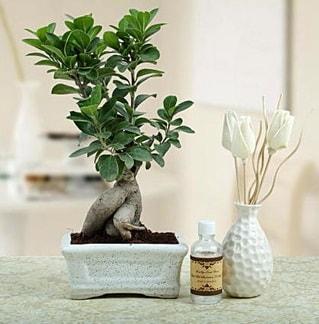 Ginseng ficus bonsai  Adana çiçekçiler