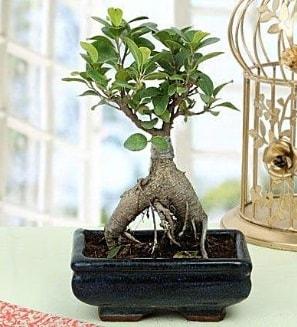 Appealing Ficus Ginseng Bonsai  Adana anneler günü çiçek yolla