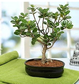 Lovely Ficus Iceland Bonsai  Adana anneler günü çiçek yolla