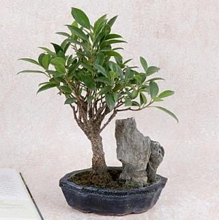 Japon ağacı Evergreen Ficus Bonsai  Adana çiçek gönderme sitemiz güvenlidir