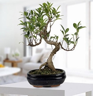 Gorgeous Ficus S shaped japon bonsai  Adana yurtiçi ve yurtdışı çiçek siparişi