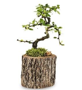 Doğal kütükte S bonsai ağacı  Adana çiçek satışı