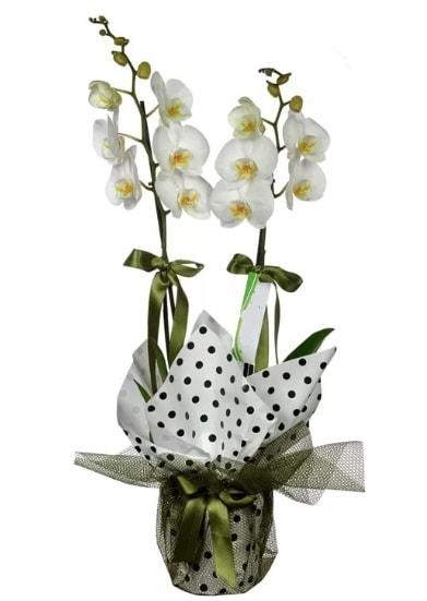 Çift Dallı Beyaz Orkide  Adana 14 şubat sevgililer günü çiçek