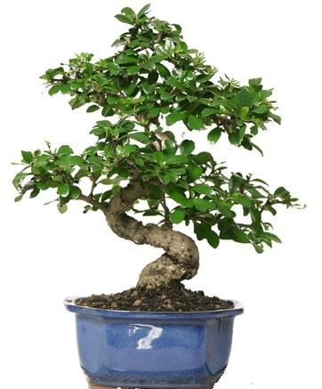 21 ile 25 cm arası özel S bonsai japon ağacı  Adana çiçekçi telefonları