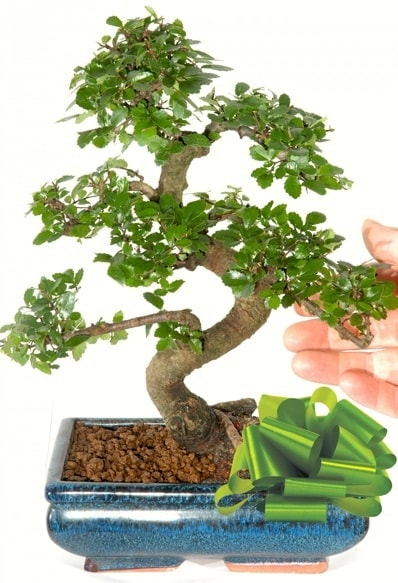 Yaklaşık 25 cm boyutlarında S bonsai  Adana çiçek siparişi sitesi