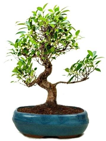 25 cm ile 30 cm aralığında Ficus S bonsai  Adana çiçek gönderme sitemiz güvenlidir