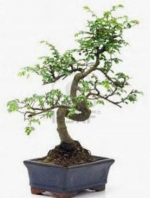 S gövde bonsai minyatür ağaç japon ağacı  Adana çiçek satışı