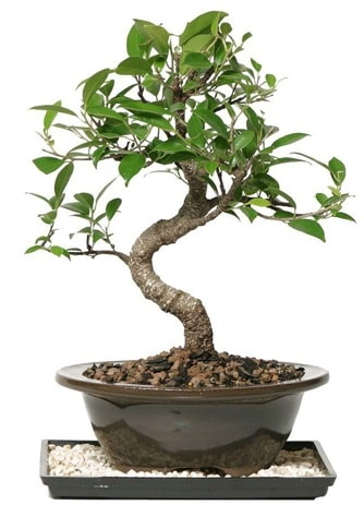 Altın kalite Ficus S bonsai  Adana çiçekçi telefonları  Süper Kalite