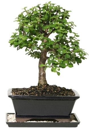 15 cm civarı Zerkova bonsai bitkisi  Adana çiçek siparişi sitesi