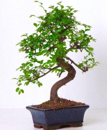 S gövdeli bonsai minyatür ağaç japon ağacı  Adana çiçek gönderme sitemiz güvenlidir