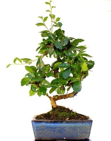 S gövdeli carmina bonsai ağacı  Adana çiçek yolla  Minyatür ağaç