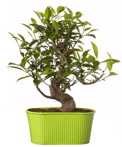 Ficus S gövdeli muhteşem bonsai  Adana çiçek siparişi sitesi