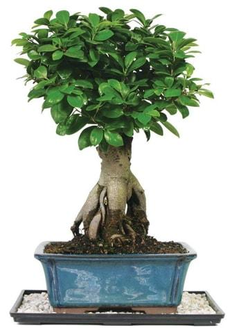 Bonsai Ginsing Grafted Ficus Bonsai  Adana çiçek yolla