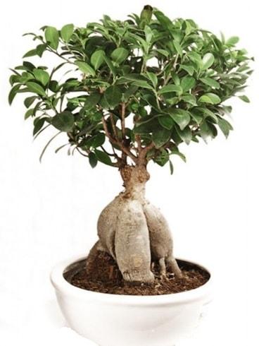 Ginseng bonsai japon ağacı ficus ginseng  Adana İnternetten çiçek siparişi